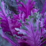 """Cabbage"" by AnneHarai"