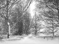 Trees in Snow Storm - B&W