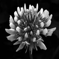 Red Clover In Black And White ll