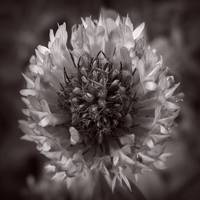 Red Clover In Black And White Vl