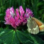 """Moth On A Clover"" by bavosiphotoart"