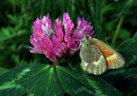 Moth On A Clover