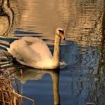 """Swan lake"" by johnforbes"