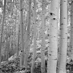 """Aspen Grove - Dixie National Forest"" by Degginger"