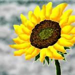 """sunflower1"" by jwilliamd"