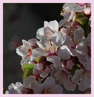 Cherry Blossoms      Pink Border Edit