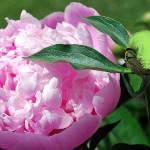 """Pixie Gardener"" by Bekkaclaire"