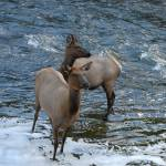 """Yellowstone Elk In Madison River"" by Shutterbug2"