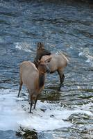 Yellowstone Elk In Madison River