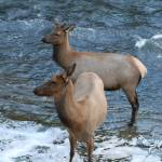 """Yellowstone Elk"" by Shutterbug2"