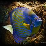 """Blue-Ringed Angelfish"" by johncorney"