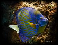 Blue-Ringed Angelfish