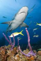 Carribbean reef shark in clear blue Bahamas water.