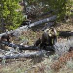 """""""Grizzly Sow and Four Cubs"""" by the-hole-picture"""