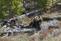 Grizzly Sow and Four Cubs