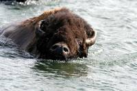 Swimming Buffalo