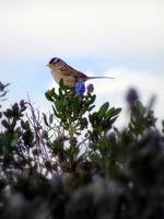 White crowned sparrow in a blue blossom Ceanothus