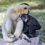 """""""Crested Gibbon"""" by travelpicspro"""