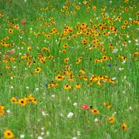 Texas Wildflowers.Yellow1100054