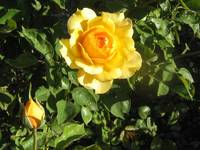 Yellow Mamma Rose & Baby
