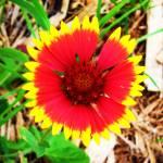 """""""Blanket Flower"""" by AnthroArt"""
