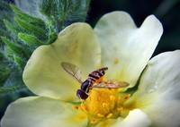 Hoverfly ll