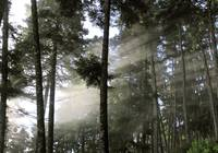 rays and fog in the forest