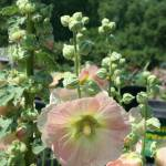 """Hollyhock"" by CarmenL"