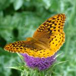 """Fritillary Butterfly  on Milk Thistle"" by teenolan"