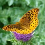 """""""Fritillary Butterfly  on Milk Thistle"""" by teenolan"""