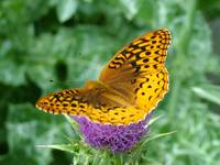 Fritillary Butterfly  on Milk Thistle