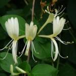 """""""White Honeysuckle"""" by Terriair"""