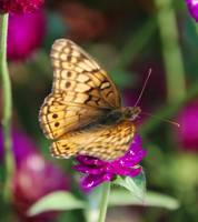 Yellow Butterfly on Pink Clover