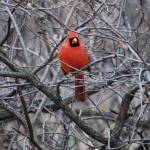 """NYC Cardinal Central Park_edited-1"" by thegoodlife711"