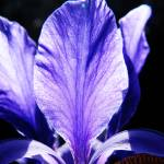 """Indigo Iris"" by fizzyimages"