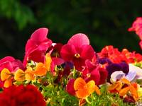Colorful Pansies IMG_6644