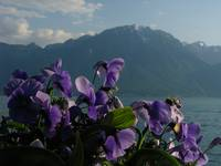 Purple Flowers with Mountains IMG_6893