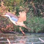 """Blue Heron"" by CarmenL"