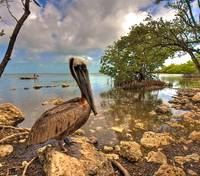 Pelican at the Shore