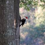 """Pileated Woodpecker"" by Redglasses"