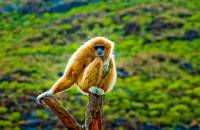 White-handed gibbon (Hylobates lar) at Palmitos