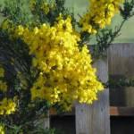 """Scotch  Broom Bush"" by hawkephotography"