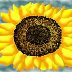"""sunflower!"" by jwilliamd"