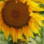 Sunflowers gallery