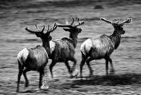 Stag Trot