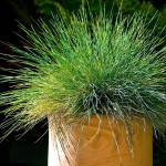 """Hairy grass pot plant in my garden"" by tolkien"