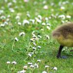 &quot;Goslings - a6acee0f326d48fab388fbfd3364bb82 <!--a6&quot; by tolkien