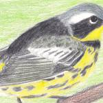 """Magnolia Warbler"" by HarmonicNature"