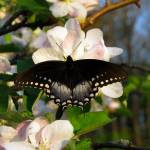 """Spicebush Swallowtail"" by Lorraine_Sommer"