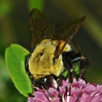 Bumble Bee On Common Clover
